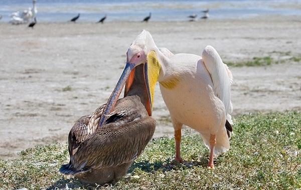 Розовый-пеликан-птица-Описание-особенности-образ-жизни-и-среда-обитания-11