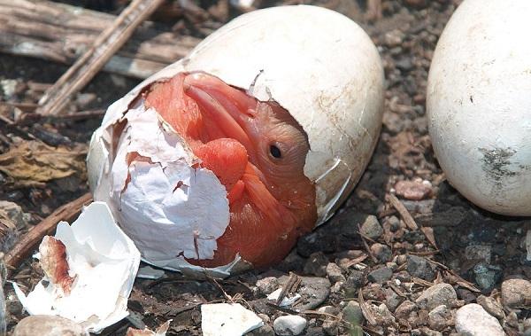 Розовый-пеликан-птица-Описание-особенности-образ-жизни-и-среда-обитания-12
