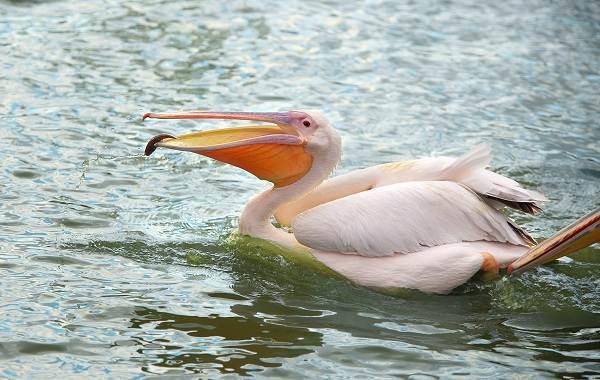 Розовый-пеликан-птица-Описание-особенности-образ-жизни-и-среда-обитания-2
