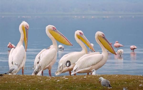 Розовый-пеликан-птица-Описание-особенности-образ-жизни-и-среда-обитания-3