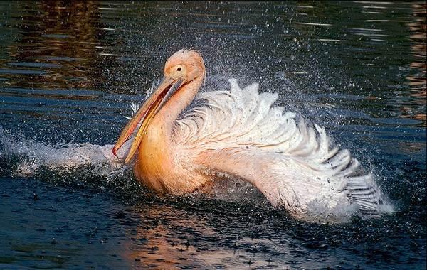 Розовый-пеликан-птица-Описание-особенности-образ-жизни-и-среда-обитания-4