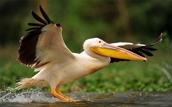 Розовый-пеликан-птица-Описание-особенности-образ-жизни-и-среда-обитания-5