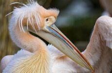 Розовый пеликан птица. Описание, особенности, образ жизни и среда обитания
