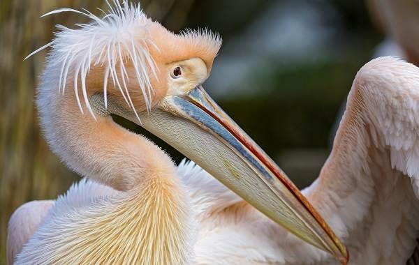 Розовый-пеликан-птица-Описание-особенности-образ-жизни-и-среда-обитания-6