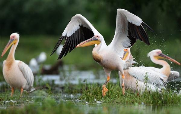 Розовый-пеликан-птица-Описание-особенности-образ-жизни-и-среда-обитания-7