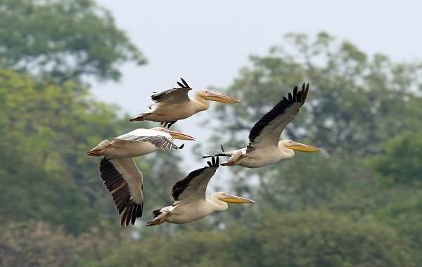 Розовый-пеликан-птица-Описание-особенности-образ-жизни-и-среда-обитания-8