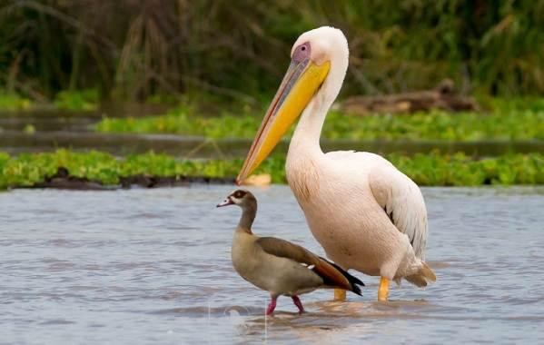 Розовый-пеликан-птица-Описание-особенности-образ-жизни-и-среда-обитания-9