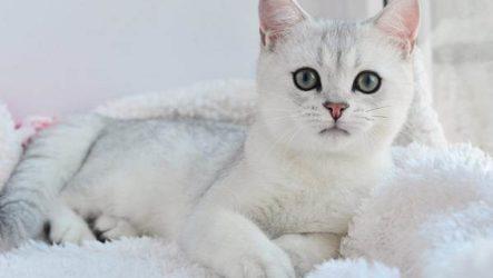 Серебристая шиншилла кошка. Описание, особенности, уход и содержание породы