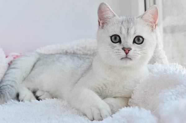 Серебристая-шиншилла-кошка-Описание-особенности-уход-и-содержание-породы-1