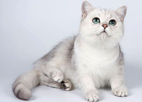 Серебристая-шиншилла-кошка-Описание-особенности-уход-и-содержание-породы-14