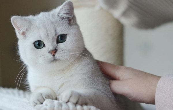 Серебристая-шиншилла-кошка-Описание-особенности-уход-и-содержание-породы-15