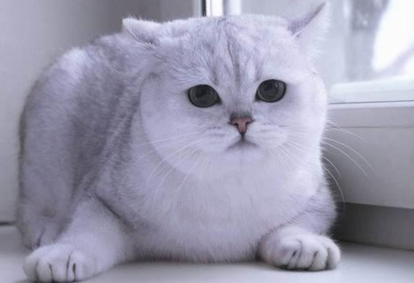 Серебристая-шиншилла-кошка-Описание-особенности-уход-и-содержание-породы-6