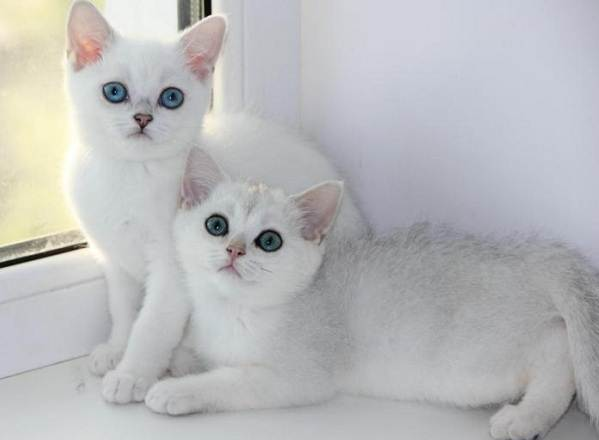 Серебристая-шиншилла-кошка-Описание-особенности-уход-и-содержание-породы-8