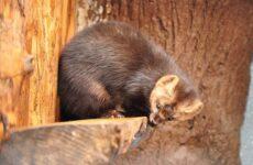Соболь животное. Описание, особенности, виды, образ жизни и среда обитания соболя