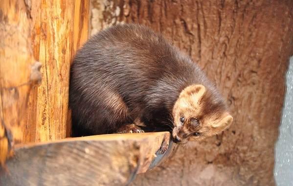 Соболь-животное-Описание-особенности-виды-образ-жизни-и-среда-обитания-соболя-11