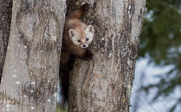 Соболь-животное-Описание-особенности-виды-образ-жизни-и-среда-обитания-соболя-17