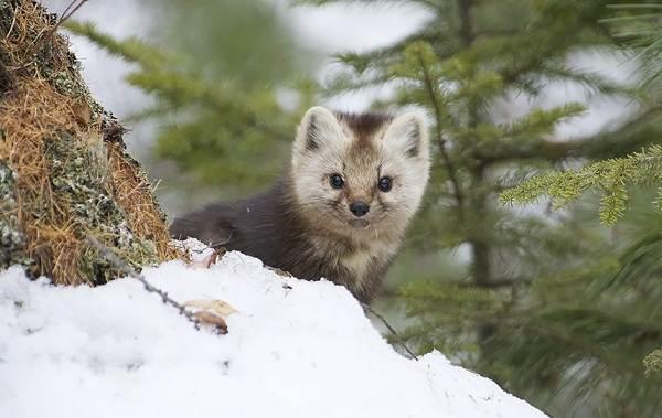 Соболь-животное-Описание-особенности-виды-образ-жизни-и-среда-обитания-соболя-2