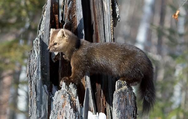 Соболь-животное-Описание-особенности-виды-образ-жизни-и-среда-обитания-соболя-3