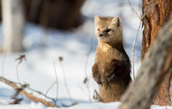 Соболь-животное-Описание-особенности-виды-образ-жизни-и-среда-обитания-соболя-4