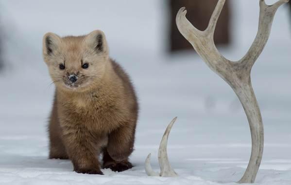 Соболь-животное-Описание-особенности-виды-образ-жизни-и-среда-обитания-соболя-5