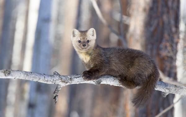 Соболь-животное-Описание-особенности-виды-образ-жизни-и-среда-обитания-соболя-7