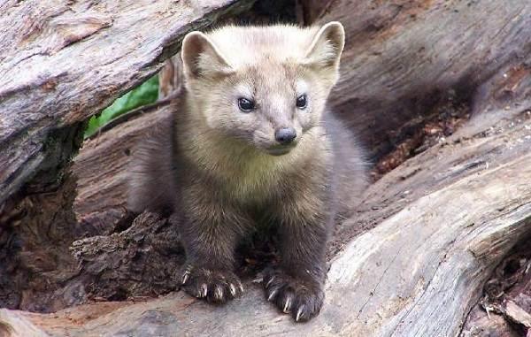 Соболь-животное-Описание-особенности-виды-образ-жизни-и-среда-обитания-соболя-8