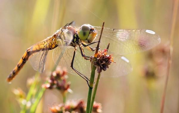 Стрекоза-насекомое-Описание-особенности-виды-образ-жизни-и-среда-обитания-стрекозы-1