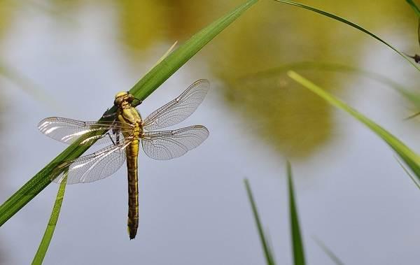 Стрекоза-насекомое-Описание-особенности-виды-образ-жизни-и-среда-обитания-стрекозы-10