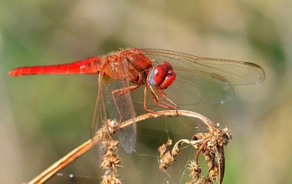 Стрекоза-насекомое-Описание-особенности-виды-образ-жизни-и-среда-обитания-стрекозы-12