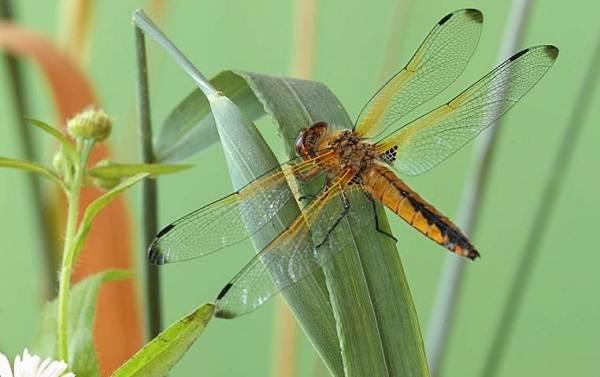 Стрекоза-насекомое-Описание-особенности-виды-образ-жизни-и-среда-обитания-стрекозы-13