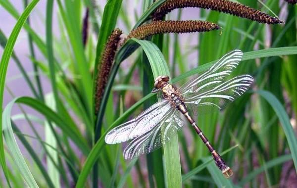 Стрекоза-насекомое-Описание-особенности-виды-образ-жизни-и-среда-обитания-стрекозы-14