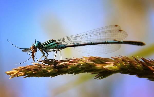 Стрекоза-насекомое-Описание-особенности-виды-образ-жизни-и-среда-обитания-стрекозы-15