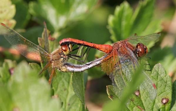 Стрекоза-насекомое-Описание-особенности-виды-образ-жизни-и-среда-обитания-стрекозы-16