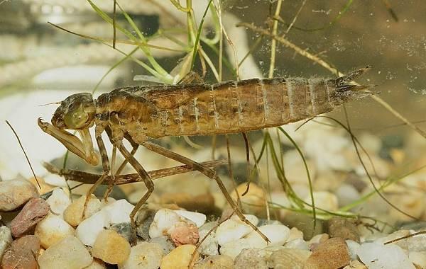 Стрекоза-насекомое-Описание-особенности-виды-образ-жизни-и-среда-обитания-стрекозы-17