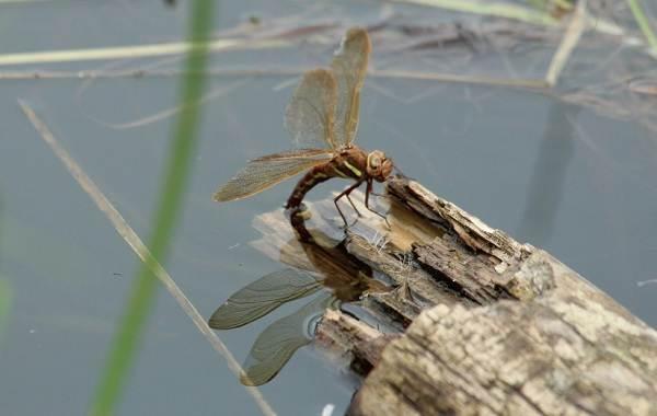 Стрекоза-насекомое-Описание-особенности-виды-образ-жизни-и-среда-обитания-стрекозы-18