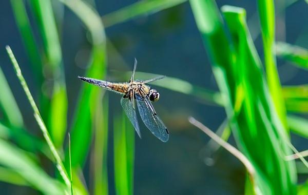 Стрекоза-насекомое-Описание-особенности-виды-образ-жизни-и-среда-обитания-стрекозы-19