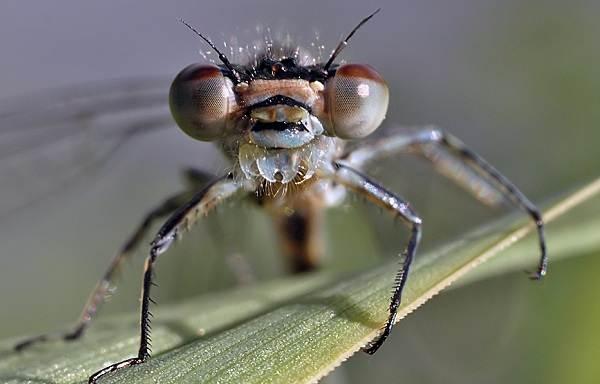 Стрекоза-насекомое-Описание-особенности-виды-образ-жизни-и-среда-обитания-стрекозы-2
