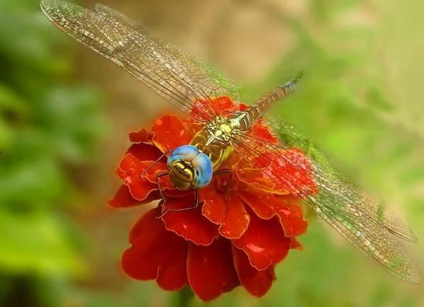 Стрекоза-насекомое-Описание-особенности-виды-образ-жизни-и-среда-обитания-стрекозы-3
