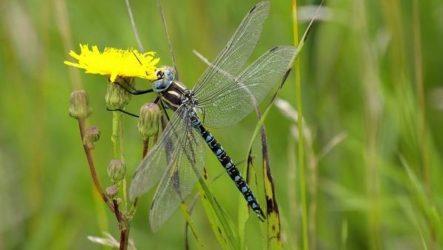 Стрекоза насекомое. Описание, особенности, виды, образ жизни и среда обитания стрекозы