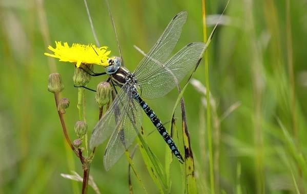 Стрекоза-насекомое-Описание-особенности-виды-образ-жизни-и-среда-обитания-стрекозы-4