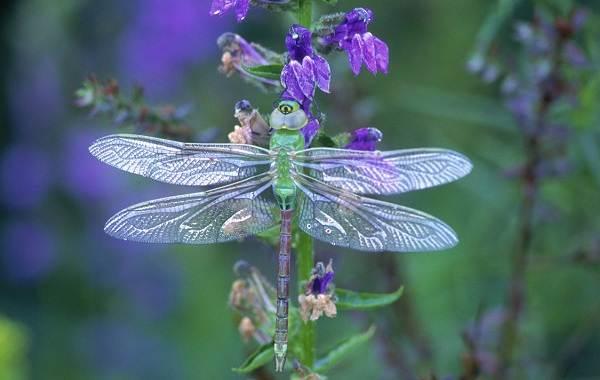 Стрекоза-насекомое-Описание-особенности-виды-образ-жизни-и-среда-обитания-стрекозы-5