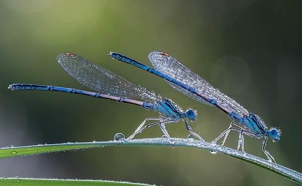 Стрекоза-насекомое-Описание-особенности-виды-образ-жизни-и-среда-обитания-стрекозы-6