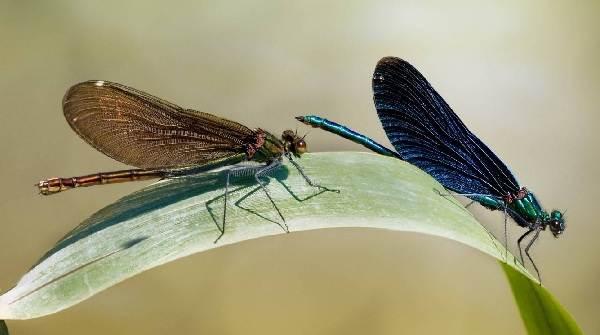Стрекоза-насекомое-Описание-особенности-виды-образ-жизни-и-среда-обитания-стрекозы-7