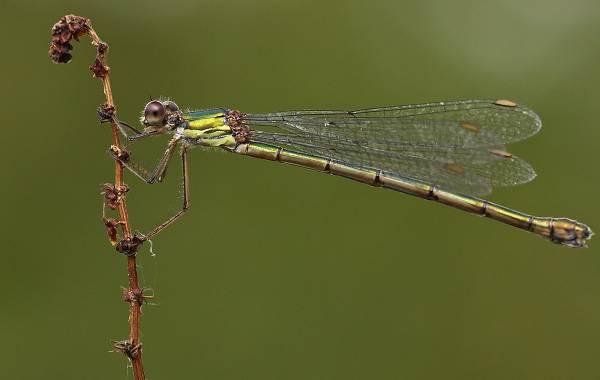 Стрекоза-насекомое-Описание-особенности-виды-образ-жизни-и-среда-обитания-стрекозы-9