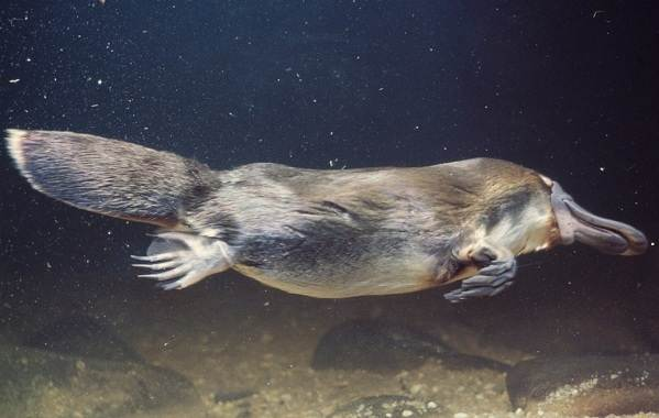 Утконос-животное-Описание-особенности-виды-образ-жизни-и-среда-обитания-утконоса-1