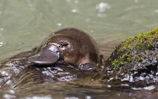 Утконос-животное-Описание-особенности-виды-образ-жизни-и-среда-обитания-утконоса-2