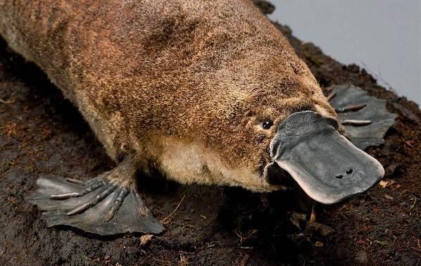 Утконос-животное-Описание-особенности-виды-образ-жизни-и-среда-обитания-утконоса-4