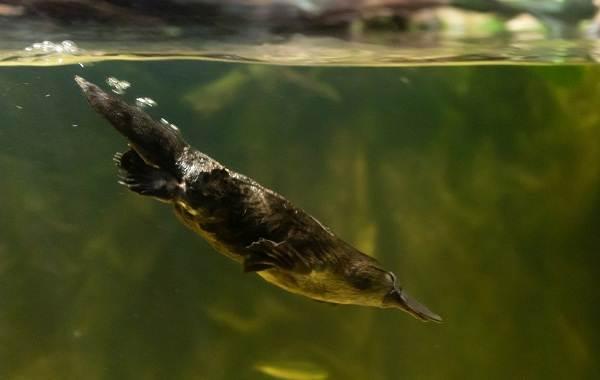 Утконос-животное-Описание-особенности-виды-образ-жизни-и-среда-обитания-утконоса-6