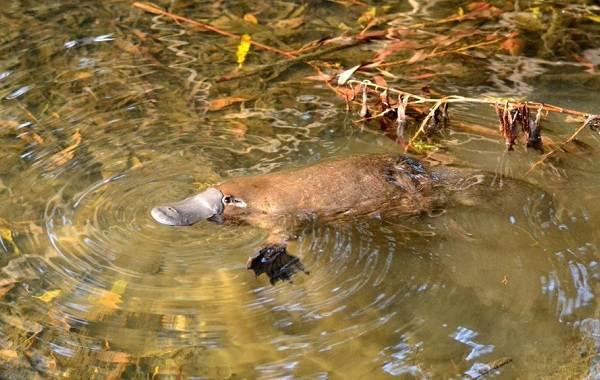 Утконос-животное-Описание-особенности-виды-образ-жизни-и-среда-обитания-утконоса-7
