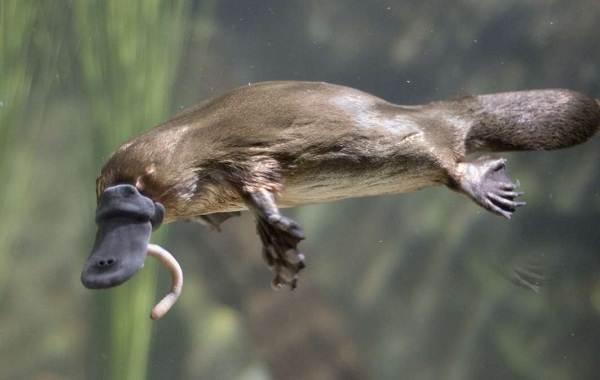 Утконос-животное-Описание-особенности-виды-образ-жизни-и-среда-обитания-утконоса-9